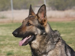 Trained German Shepherd Male For Sale