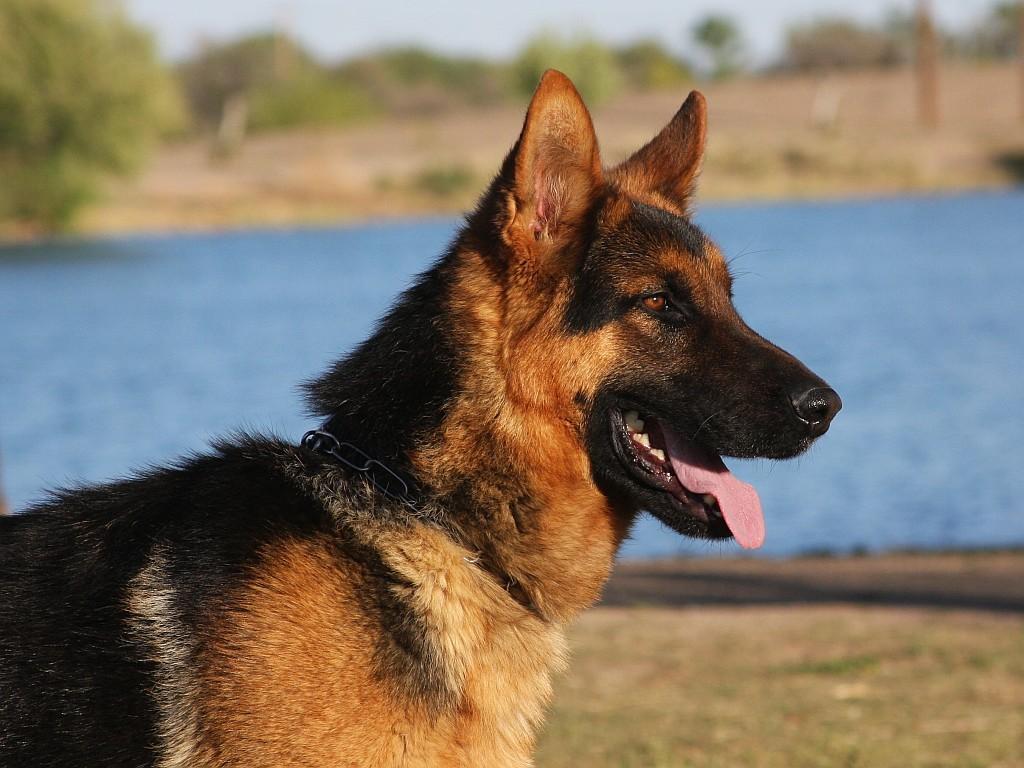 Red and black german shepherd dog - photo#34
