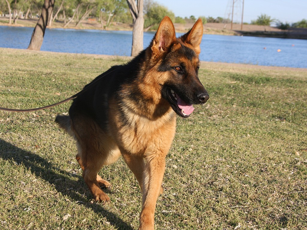red and black german shepherd puppies for sale black and red german shepherd dog for sale zauberberg 7418