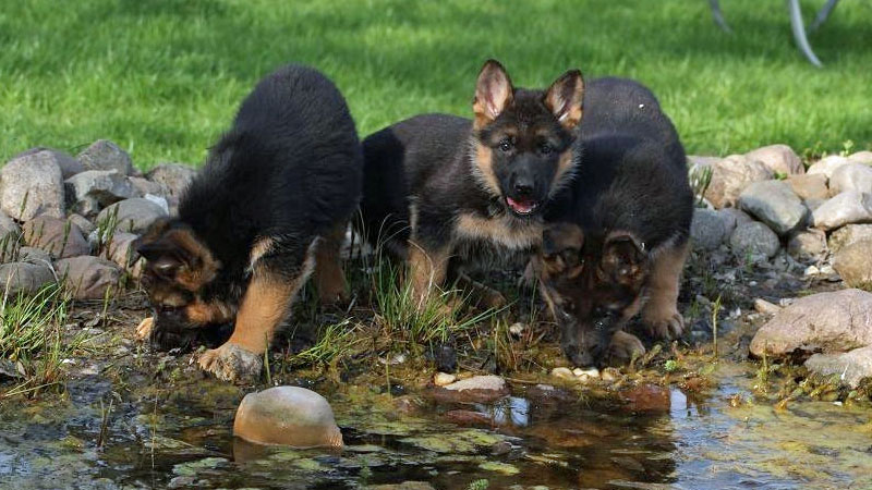 German shepherd breeder in germany