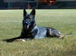 Jago vom Zauberberg, German Shepherd Stud Dog in Arizona