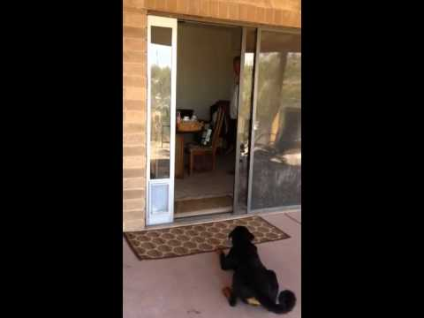 Rottweiler Released After Not Busting Through The Door