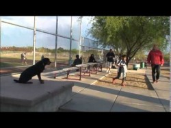 Rottweiler Male Obedience Trained