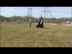 Schutzhund trained German Shepherd Dog