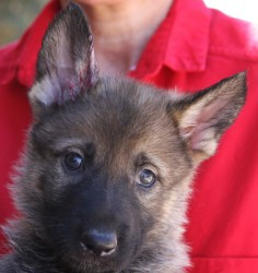 best AKC registered German Shepherd for family