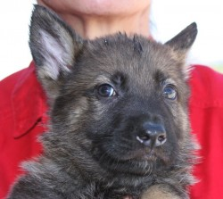dark sable German Shepherd puppy
