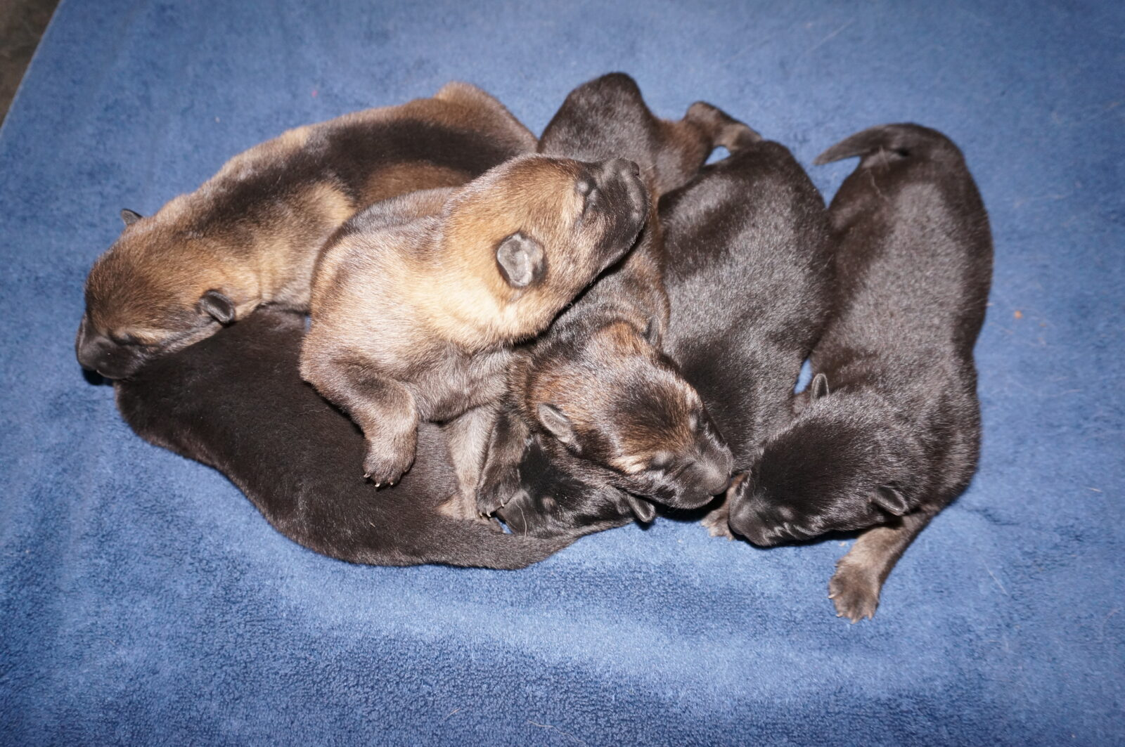 Image search: Rottweiler Puppies For Sale In Michigan