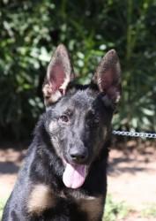 trained German Shepherd Puppy New Jersey
