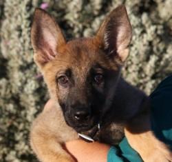 German Shepherd puppy for sale in Phoenix