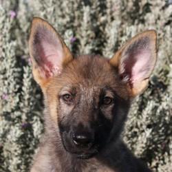 cutest female German shepherd puppy