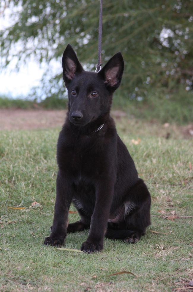 Kyra // Female // German Shepherd Ziska-black-German-Shepherd-puppy-for-sale-Arizona1