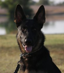 young German Shepherd female from top breeder for sale