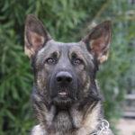 IPO training for German Shepherds