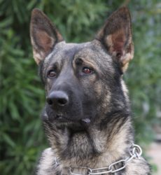 sable german Shepherd stud dog in Arizona