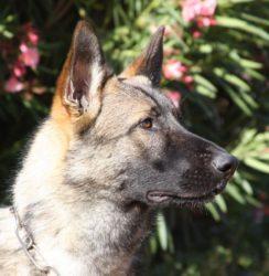 Sable German Shepherd Stud dog