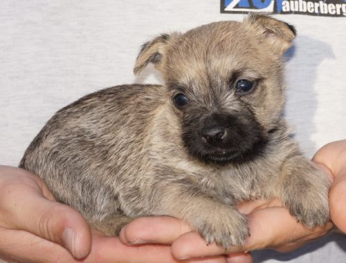 Cairn Terrier Puppy for sale best temperaments and colors