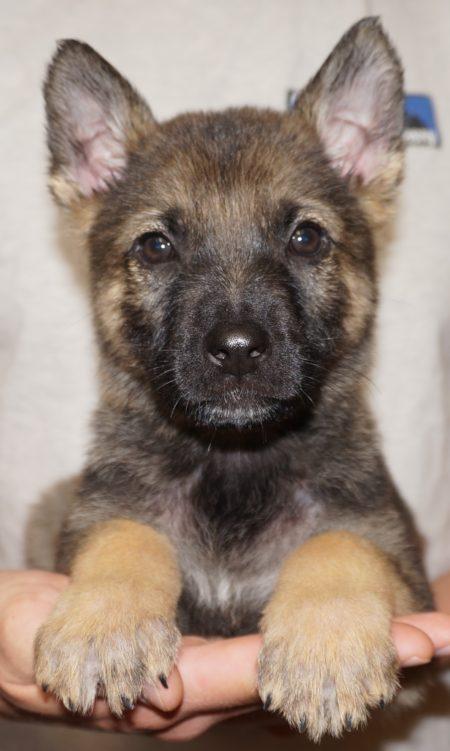 Tiger Sable German Shepherd Puppy For Sale Zauberberg