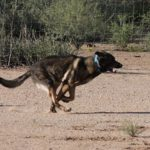 Fastest German Shepherd stud dog one leg only touching the ground