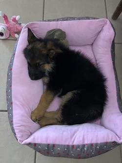 Zauberberg Review German Shepherd Puppies for sale