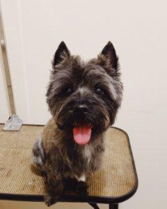 Cairn Terrier breeder review